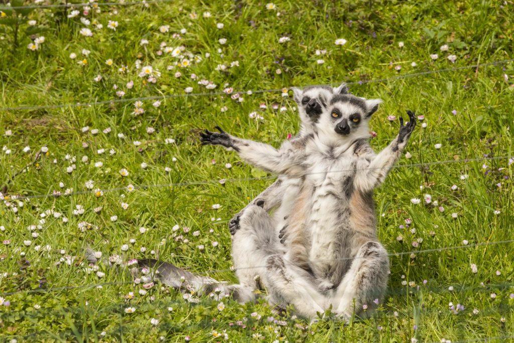 Lemur fotograf Branislav Bruder.