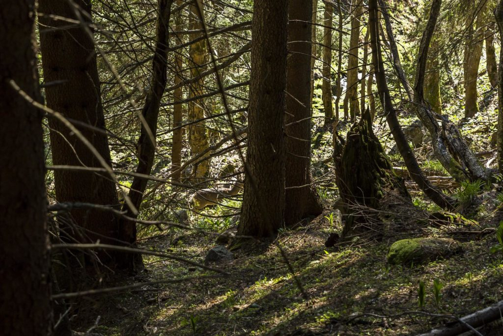 Srnec medzi stromami. Fotograf Branislav Bruder