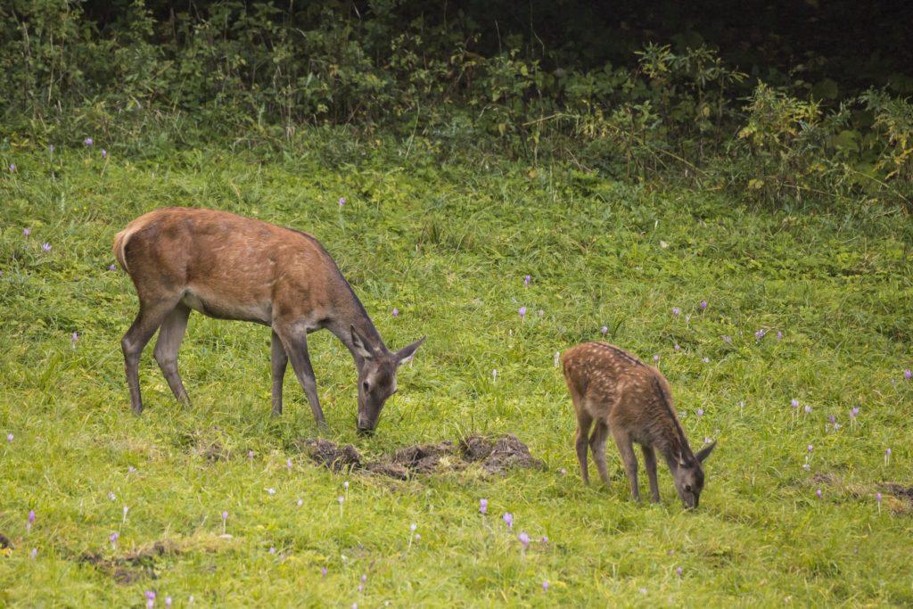 Laň jeleňa a mláďa. Fotograf Branislav Bruder.