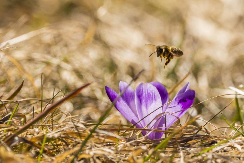 Príchod Jari, opelovanie kvetu, včela, fotograf, Branislav Bruder,